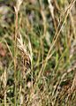 Danthonia intermedia mountain wild-oat grass close.jpg
