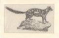 Dasyurus viverrinus - 1700-1880 - Print - Iconographia Zoologica - Special Collections University of Amsterdam - UBA01 IZA1000643.tif