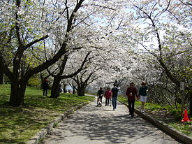 Cherry Blossoms in High Park in the spring