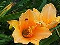 Daylilies in Bloom - 9432553726.jpg