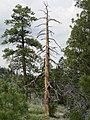 Dead Ponderosa Pine (Pinus ponderosa), Bryce Canyon National Park.jpg
