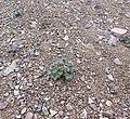 Delphinium glareosum (Rockslide Larkspur) - Flickr - brewbooks.jpg