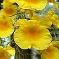 Dendrobium lindleyi - Flickr - treegrow (2).jpg