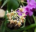 Dendrobium polysema - Internationale Orchideen- und Tillandsienschau Blumengärten Hirschstetten 2016 c.jpg