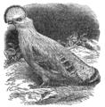 Descent of Man - Burt 1874 - Fig 50.png