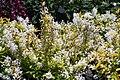 Deutzia gracilis Duncan 3zz.jpg