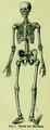 Die Frau als Hausärztin (1911) 001 Skelett des Menschen.png
