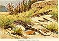 Die Reptilien und Amphibien mitteleuropas (1912) (20755740879).jpg