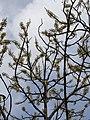 Dillenia pentagyna flowering by Dr. Raju Kasambe DSCN1362 (36).jpg