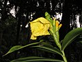 Dimerocostus strobilaceus -新加坡植物園 Singapore Botanic Gardens- (9213295557).jpg