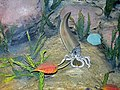 Diorama of a Silurian seafloor - cephalopod eating a calymenid trilobite, algae, bivalve, dalmanitid trilobites 1 (45718580571).jpg