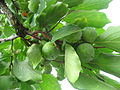Diospyros kaki fruit 04 by Line1.JPG