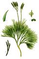 Diphasiastrum complanatum, Flora Batava v10.png