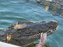 Djerba Explore Nile crocodile 13.JPG
