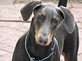 Doberman Pinscher blue portrait.jpg