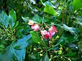 Dodonaea viscosa (5188012298).jpg