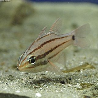 <i>Ostorhinchus doederleini</i> species of fish