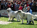 Dog Shows 2007.jpg