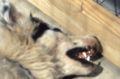 Dogwithrabies6.png