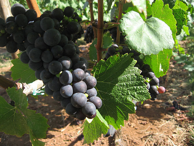 Pinot noir grapes growing in the Willamette Va...