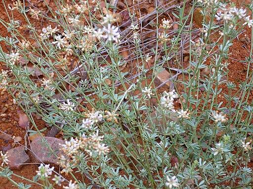 Dorycnium pentaphyllum Habito 2010-6-15 DehesaBoyaldePuertollano