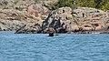 Double-crested Cormorant (Phalacrocorax auritus) - Killarney, Ontario 02.jpg