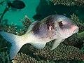 Doublebar goatfish (Parupeneus trifasciatus) (46700035835).jpg