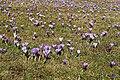 Drebacher Krokuswiesen 2H1A4978WI.jpg
