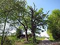 Drei Eichen bei Elfershausen, 3.jpg