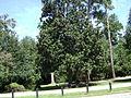 Drexel Park Southern Magnolia.JPG