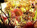 Drosera rotundifolia1.jpg