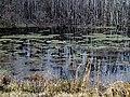 Duckweed Pee Dee NWR NC 5551 (16332783417).jpg