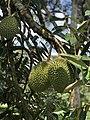 Durian in Malaysia.jpg