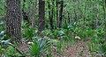 Dwarf palmettos (Sabal minor), Sam Houston National Forest, Walker County, Texas, USA (May 2012).jpg