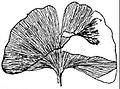 EB1911 Gymnosperms - Ginkgo adiantoides.jpg