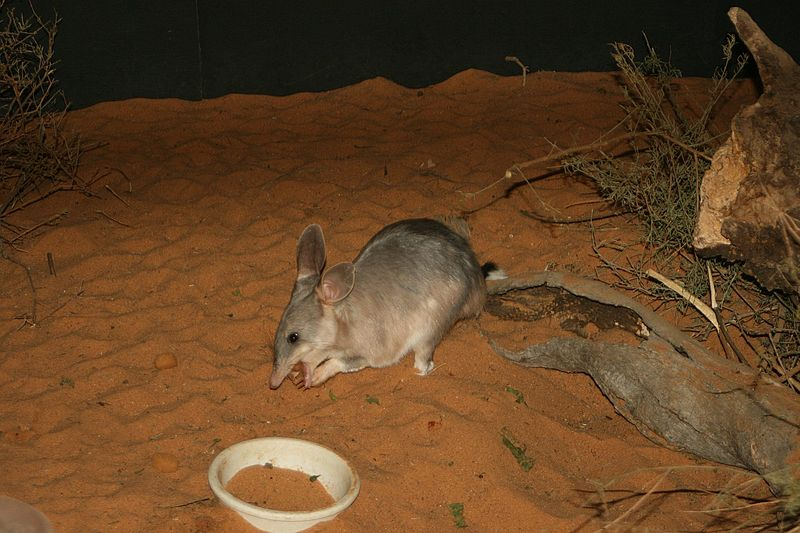 File:Easter Bilby.jpg