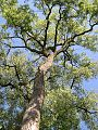 Eastern Cottonwood (Populus deltoides) - Flickr - Jay Sturner (1).jpg