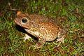 Eastern Giant Toad (Peltophryne peltocephala) (8573972397).jpg