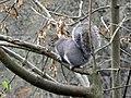 Eastern Gray Squirrel 3 (b).jpg
