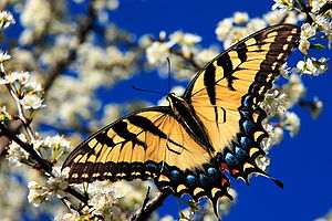 Papilio multicaudata - Image: Eastern tiger swallowtail 3