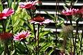 Echinacea purpurea Fatal Attraction 2zz.jpg