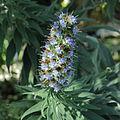 Echium candicans-IMG 0303.jpg
