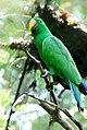 Eclectus roratus -Singapore Zoo -male-8.jpg