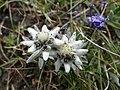 Edelweiss (73).JPG