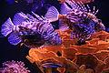Eilat UnderwaterObservatory RareFish 9983.JPG