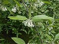 Elaeagnus multiflora 2016-05-17 0203.jpg