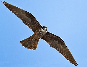 Eleonorenfalke (Falco eleonorae), ad. der hellen Morphe