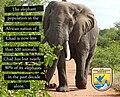 Elephant population in Chad - USFWS.jpg