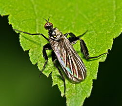 Empis.pennipes.female.1.jpg