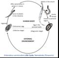 Enterobius vermicularis life cycle.tif